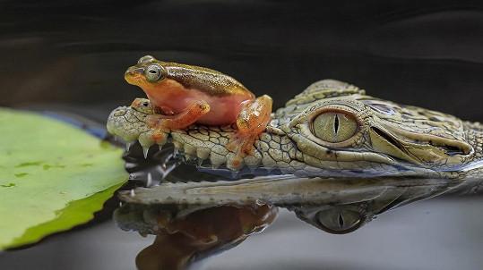 Žábě se nechtělo po svých...