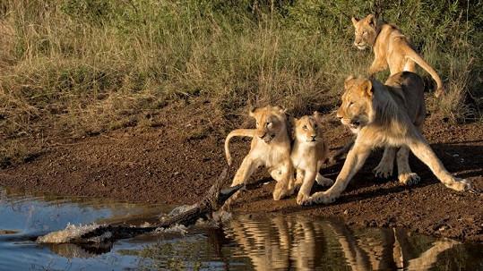 Lvi byli v převaze, ale ze souboje vycouvali.