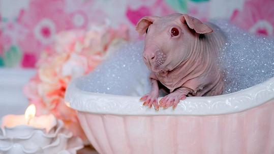 Lysé morče si užívá koupel.