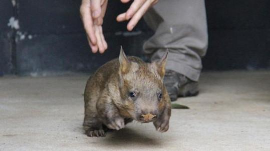Australská Zoo má novou atrakci.