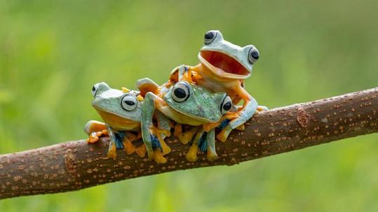Žabí trio z Indonésie