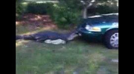 """BEZ KOMENTÁŘE : Aligátor napadl policejní auto a pokusil se ho """"sežrat"""""""