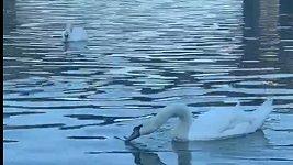 Lucie Vondráčková s labutěmi